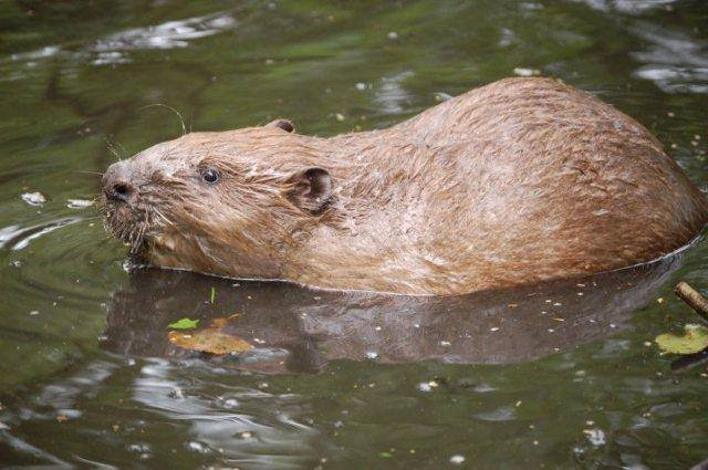 Good news for Ottery's beaver family image